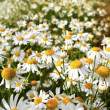 Stock Photo: RomCamomile