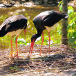 Stock Photo: Black Stork