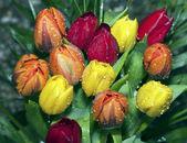 红色、 橙色和黄色郁金香 — 图库照片
