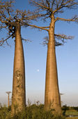 Baobab and the Full Moon — Stock Photo