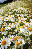 Roman Camomile — Stock Photo