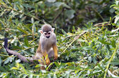 The common squirrel monkey (Saimiri sciureus) — Стоковое фото