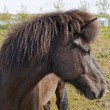 An Icelandic horse — Stock Photo #16518707