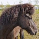 An Icelandic horse — Stock Photo