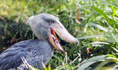Shoebill, Whalehead — Stock Photo