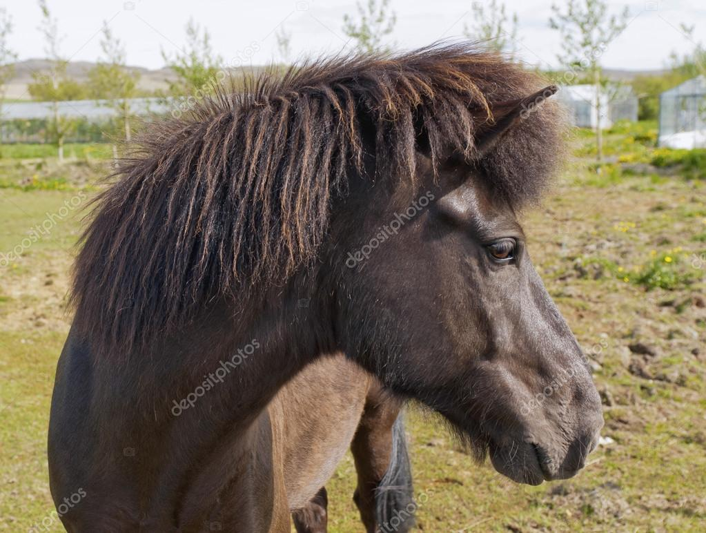 Closeup on the head of Icelandic horse, Iceland. — Foto de Stock   #16518707