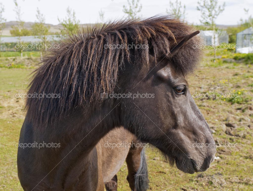 Closeup on the head of Icelandic horse, Iceland.  Stockfoto #16518707