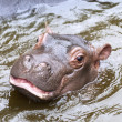 Stock Photo: Baby hippo