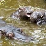 A baby hippo — Stock Photo