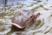 A baby hippo — Stock Photo