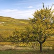 A tree and vineyards in autumn — Stock fotografie