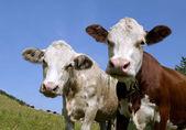 A Cow head — Stock Photo