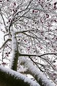 冬季的花揪树 — 图库照片