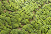 Tea Tree Field — Stock Photo