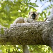 Red-fronted brown Lemur — Foto de Stock