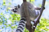 Ring-tailed lemur — 图库照片
