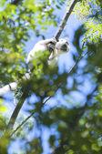 Lemur Sifaka — Stock Photo
