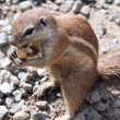 Cape Ground Squirrel — Stock Photo #18876509