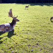 Fallow-deer - Stock Photo