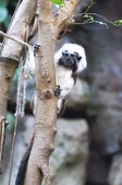 Cottontop tamarin — Stock Photo