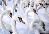 A flock of swans — Stock Photo