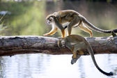 Squirrel monkey — Stock fotografie
