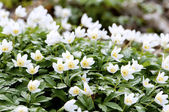 Wood anemone — Stock Photo