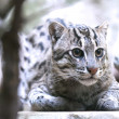 Stock Photo: Fishing cat