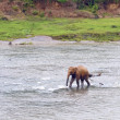 Young elephant in the river - Stock Photo