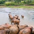 Elephants in the river - Stock Photo