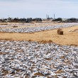 Drying fish on the shore - Stock Photo