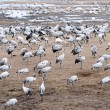 Cranes and whooper swans - Stock Photo