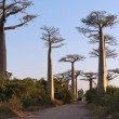Avenue of the Baobabs — Stock Photo
