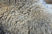 Sheep fur — Foto Stock