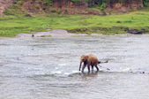 Young elephant in the river — Foto Stock