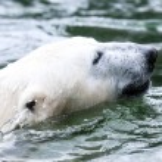 Polar bear — Stock Photo #19633163