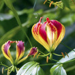 Gloriosa — Stock Photo