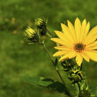 Yellow Daisy - Stock Photo