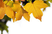 Yellow fall leaves — Stock Photo