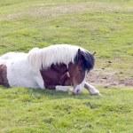 İzlandalı bir at — Stok fotoğraf