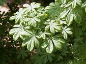 Chestnut leaves — Stock Photo