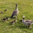 Greylag Geese - Stock Photo