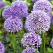 Ornamental Allium — Stock Photo