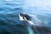 Bir kambur balina — Stok fotoğraf