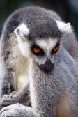 Lemur resting — Stock Photo
