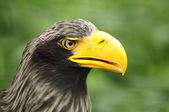 águila de mar de steller — Foto de Stock