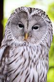An Ural Owl — Stock Photo