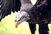 Bald eagle, portrait — Stockfoto