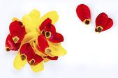 Tulip petals — Stock Photo