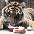 A young Tiger, (Panthera tigris) - Stock Photo